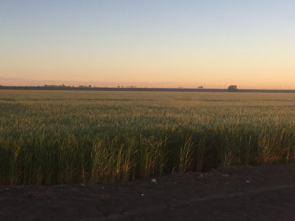 arroz cultivo